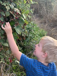 picking wild blackberries in new zealand